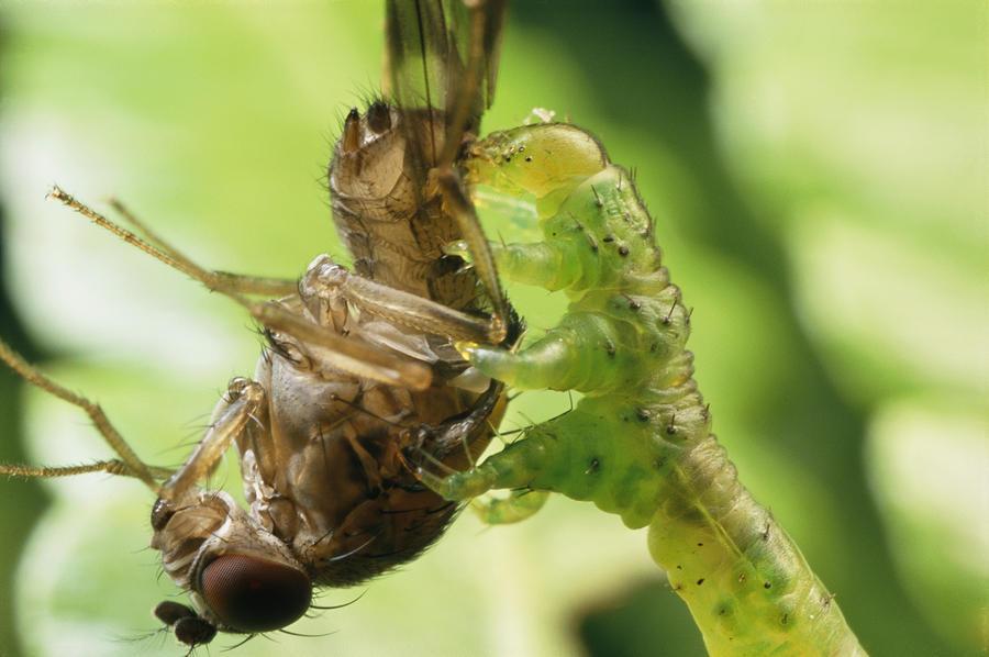 a-species-of-eupithecia-a-carnivorous-darlyne-a-murawski